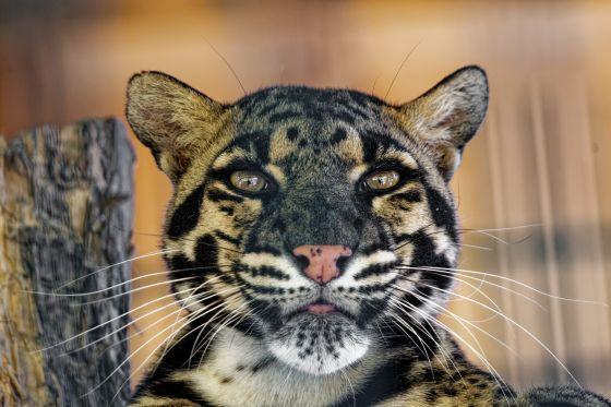 Tag des Nebelparders weisser Zoo Kernhof 2020-08-04