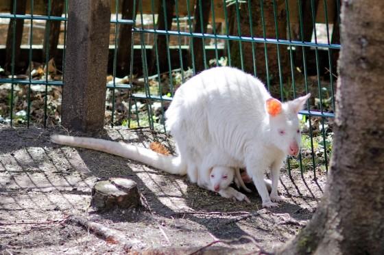 Zoo Kernhof Albino Känguruh mit Joey 16