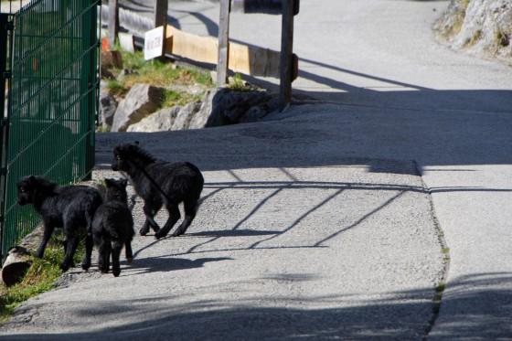Zoo Kernhof Babyzicken 26