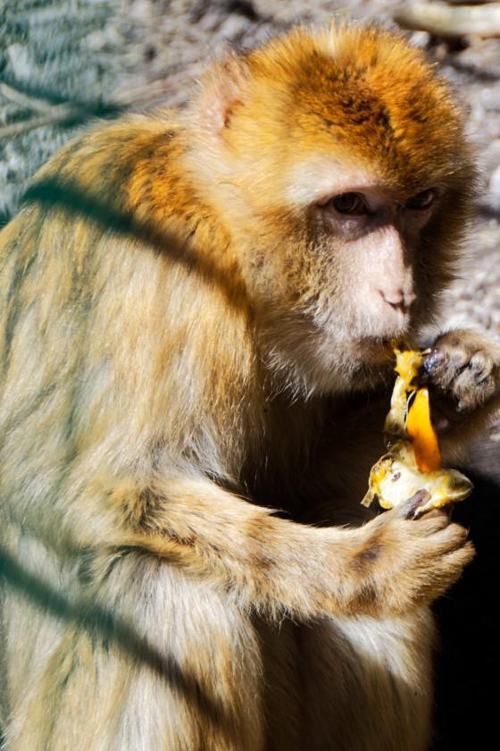 Zoo Kernhof Berberaffe 7
