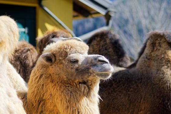 Zoo Kernhof Kamel 17