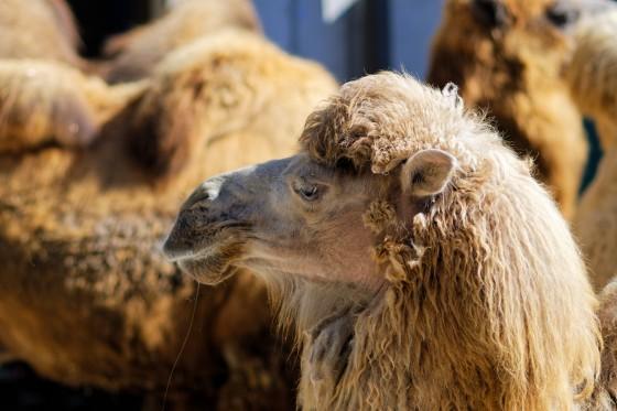 Zoo Kernhof Kamel 18