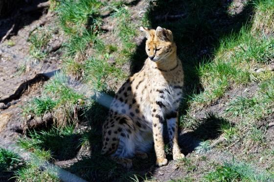 Zoo Kernhof Serval 2