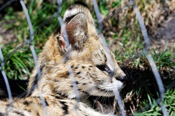 Zoo Kernhof Serval 4