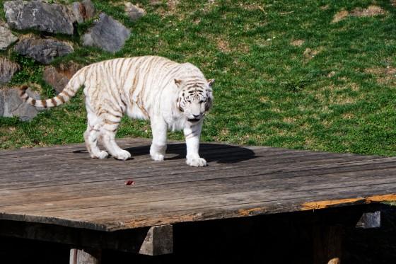 Zoo Kernhof Tiger 20