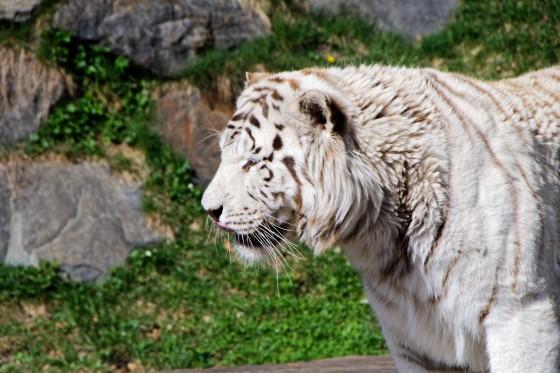 Zoo Kernhof Tiger 21