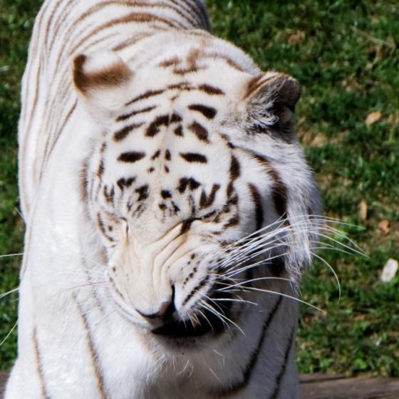 Zoo Kernhof Tiger 25