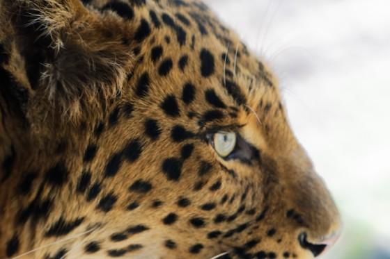 Zoo Kernhof chinesicher Leopard 8
