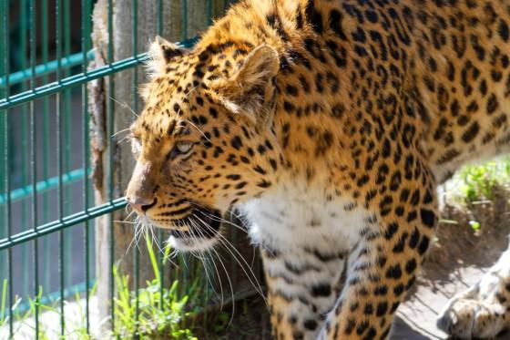 Zoo Kernhof chinesischer Leopard 11