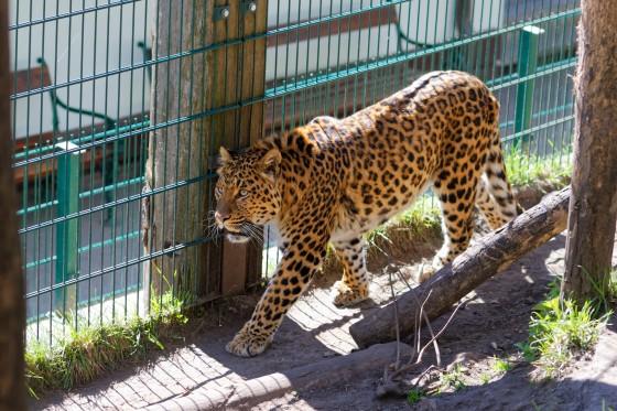 Zoo Kernhof chinesischer Leopard 12