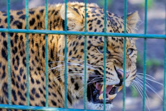 Zoo Kernhof chinesischer Leopard 13