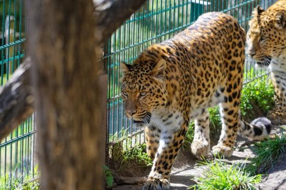 Zoo Kernhof chinesischer Leopard 9