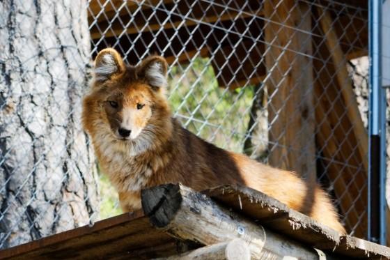 Zoo Kernhof russischer Rothund 3