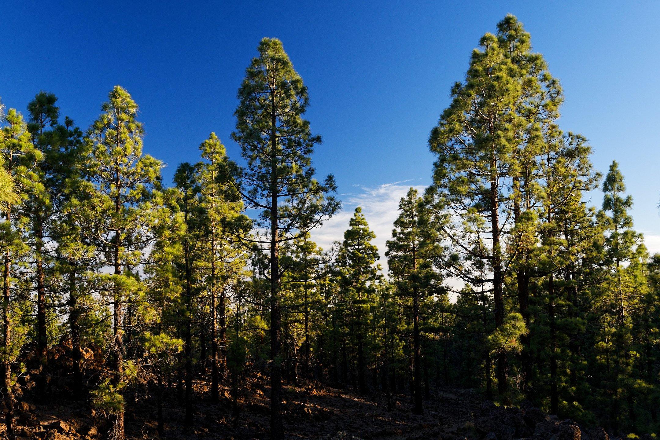 abendlicht im kiefernwald 2020-08-21