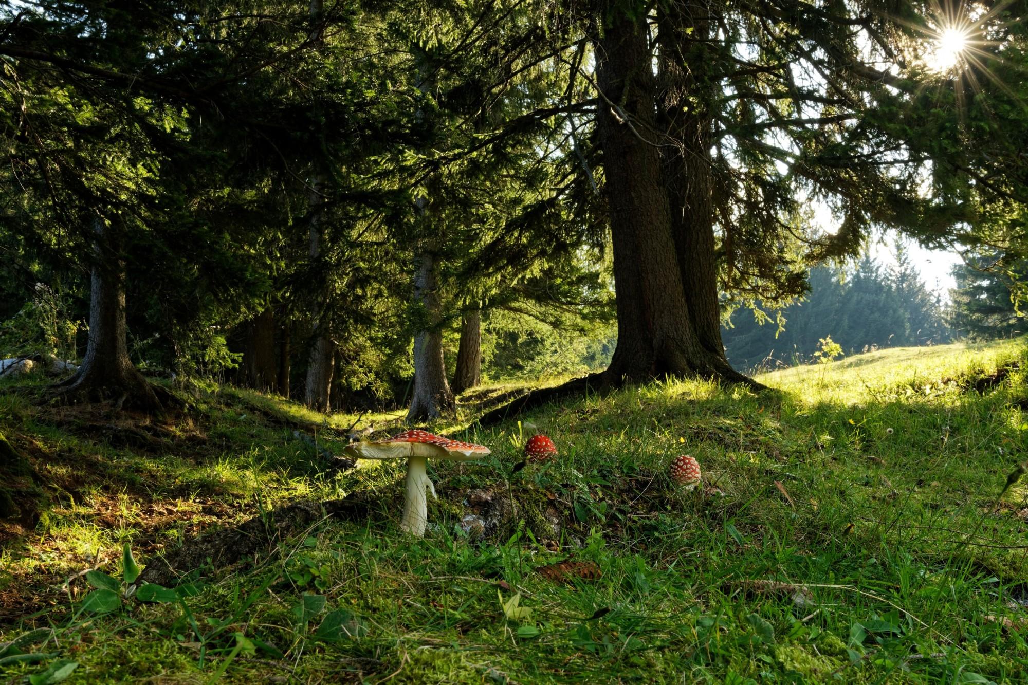 amanita muscaria fliegenpilz im wald 2020-10-09