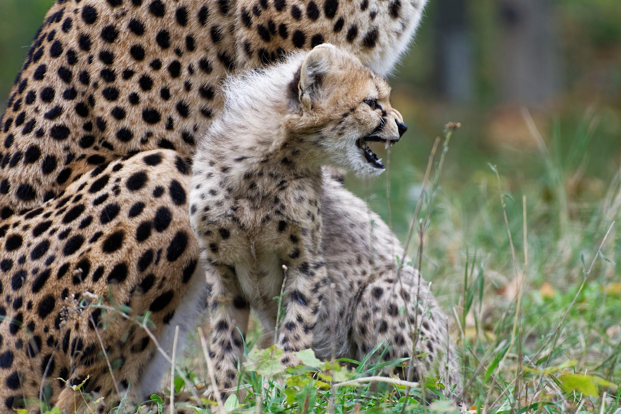 angry cheetah 2020-10-21