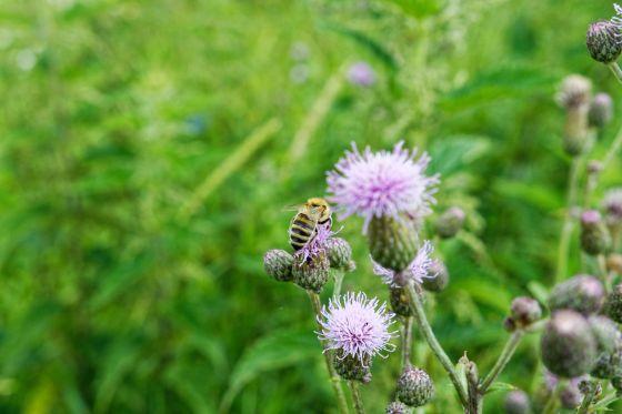 biene beim nektar sammeln 2020-07-01