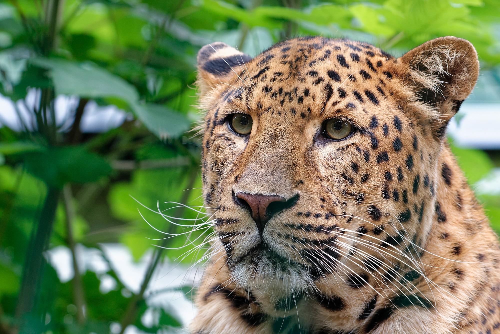 chinesischer leopard 2020-10-07