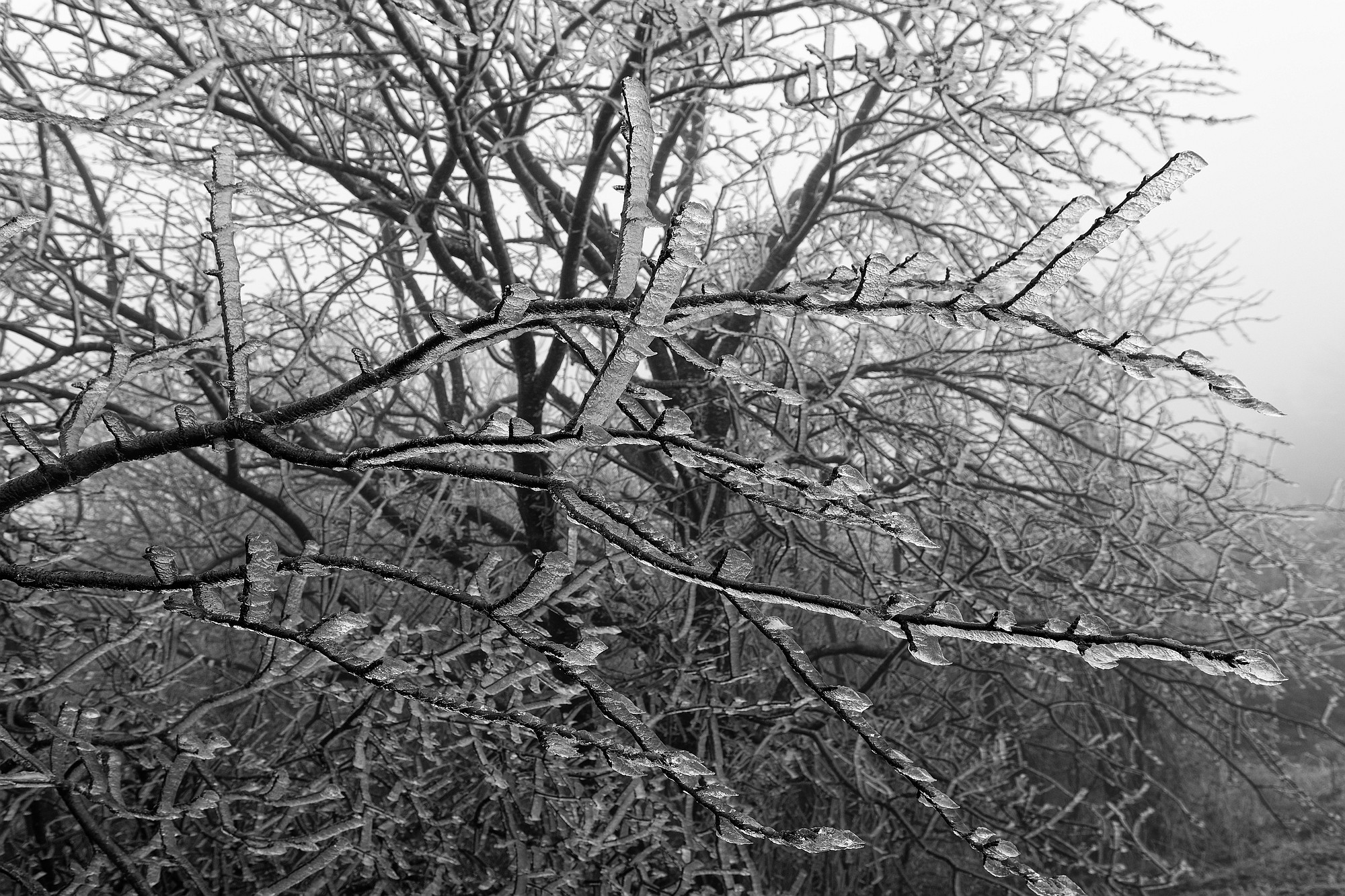 frozen trees 2021-02-08