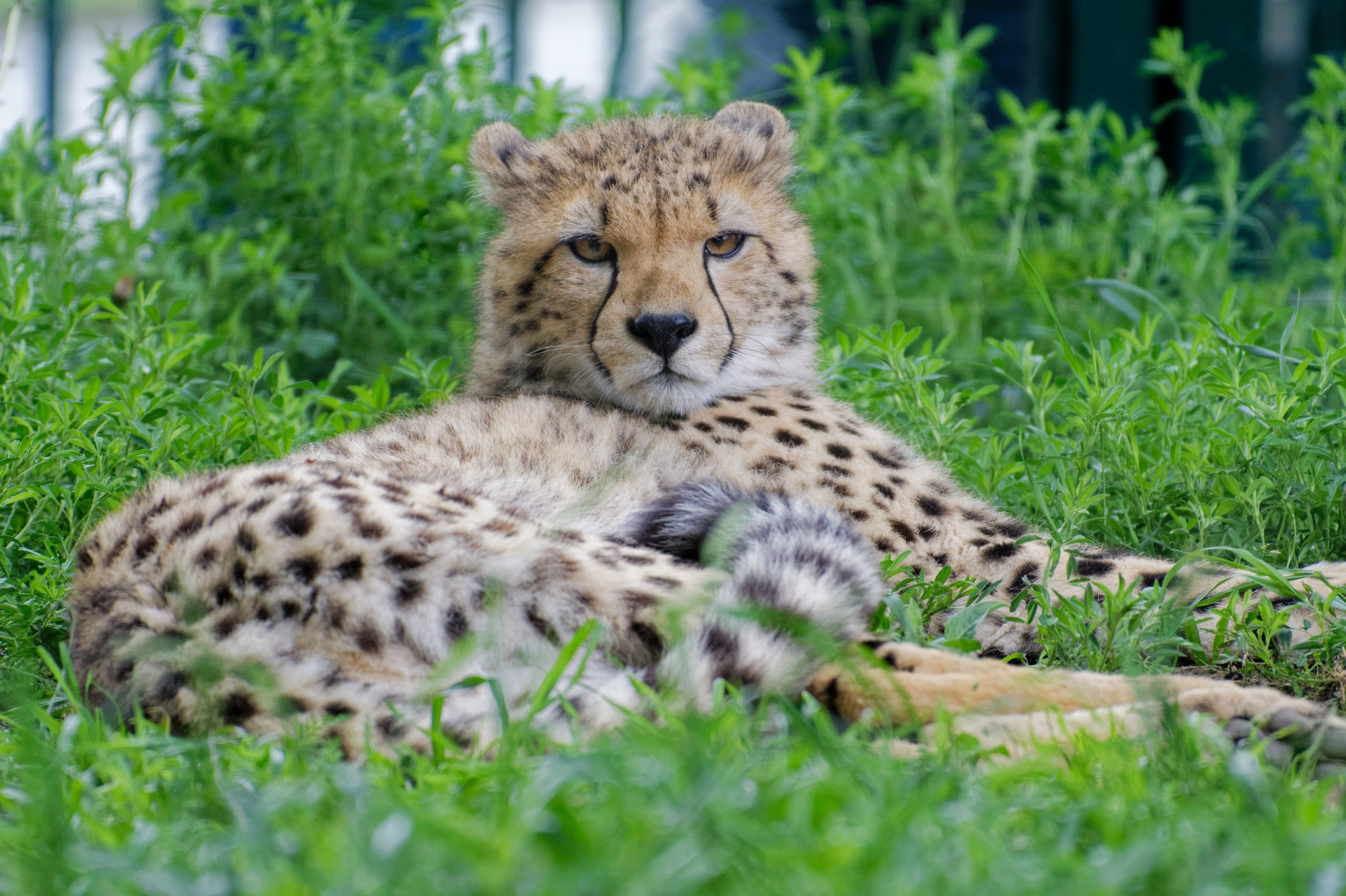 gepard im gras 2021-05-23