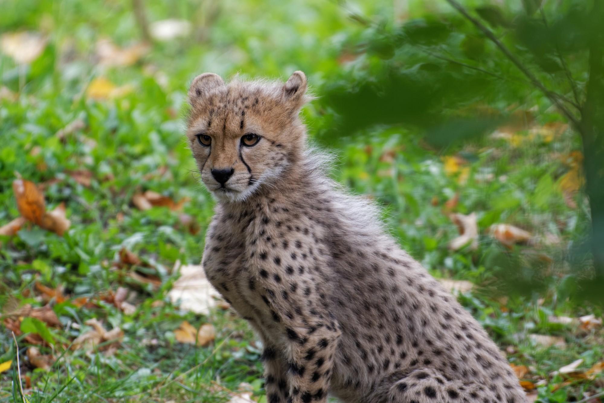 gepard jungtier 2020-10-12
