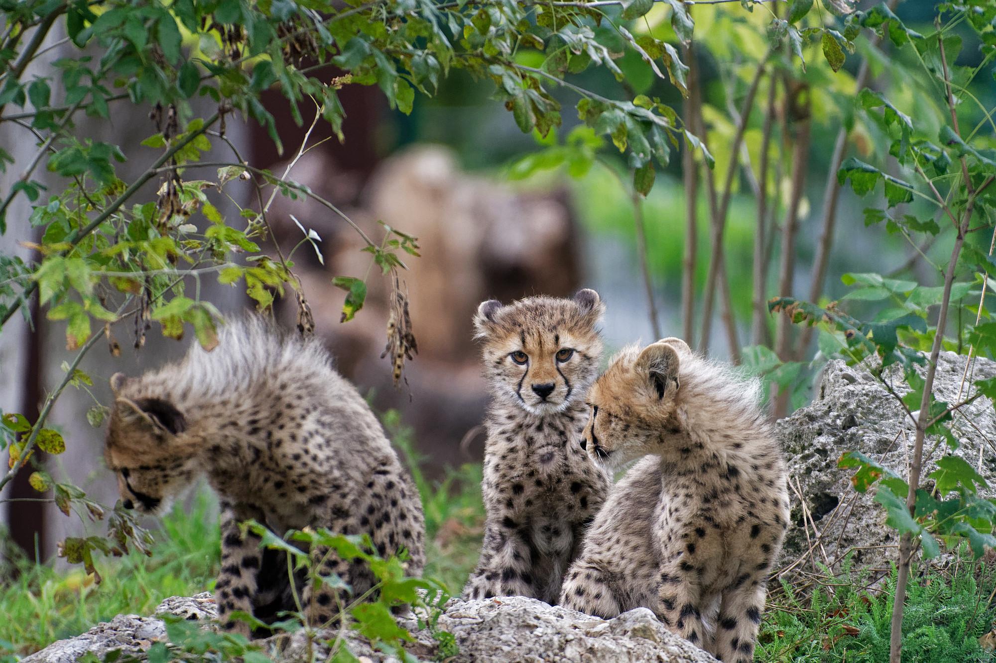 geparden jungtiere gruppe 2020-11-19