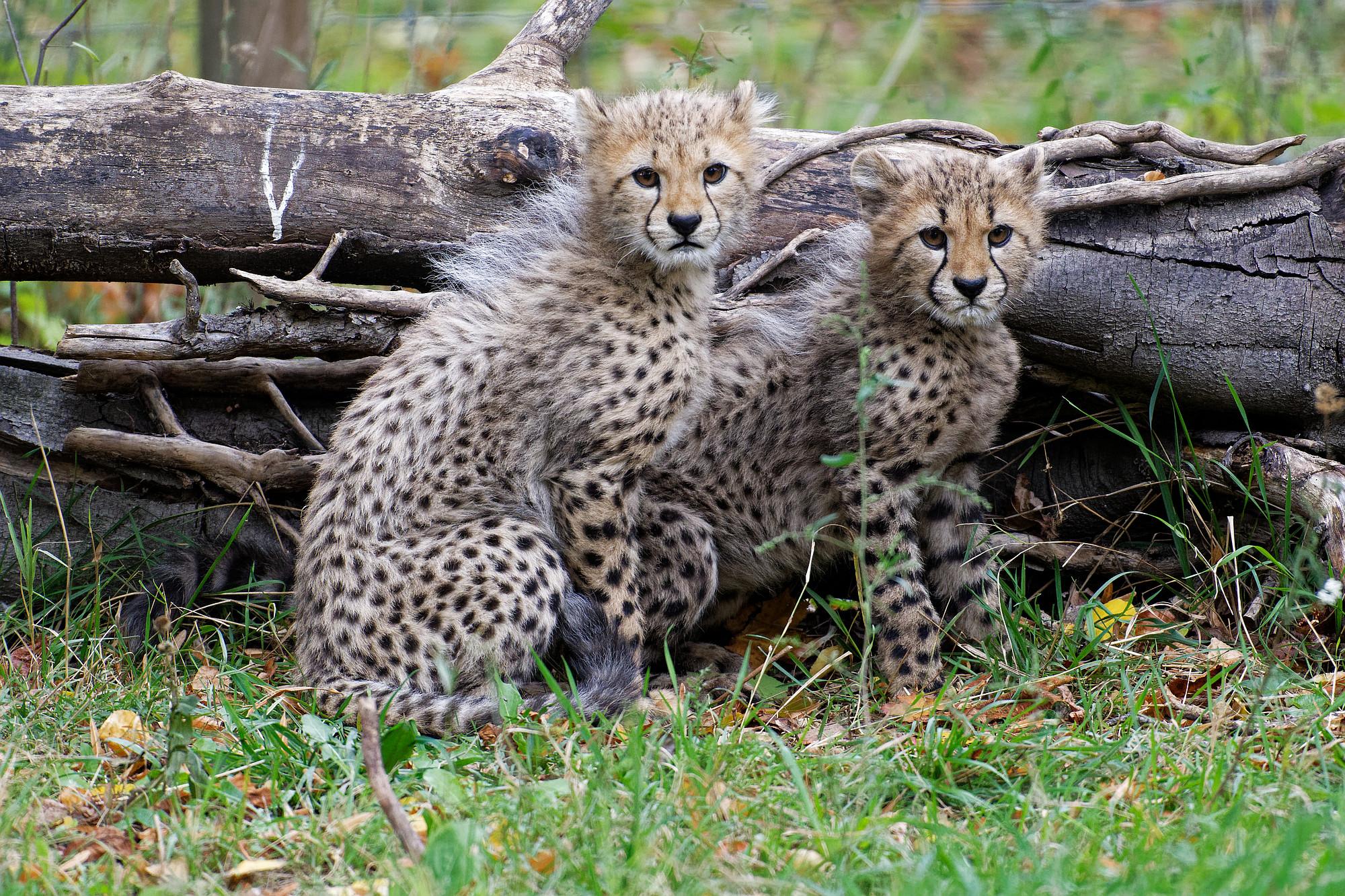 geparden jungtiere international cheetah day 2020-12-04