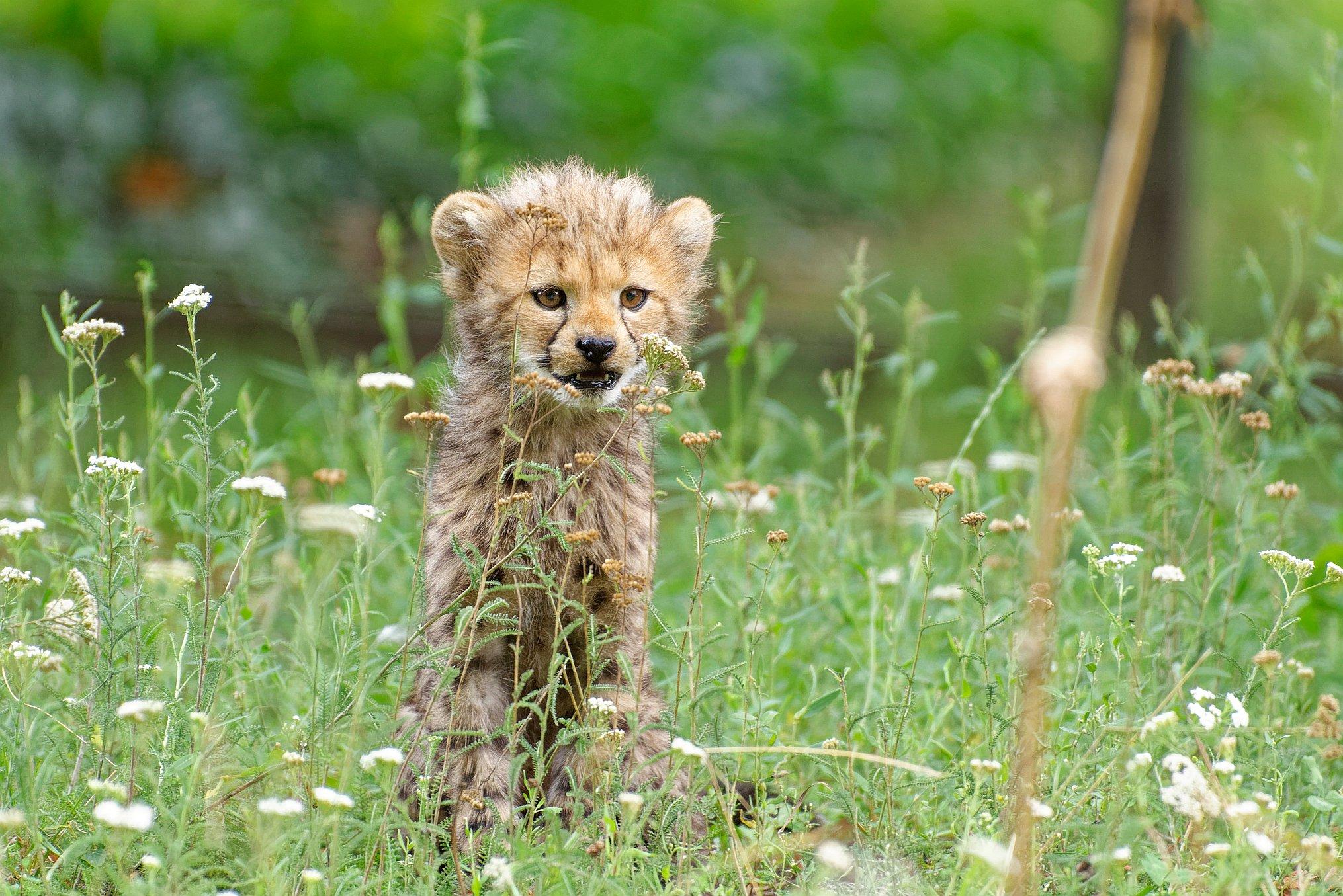 Ein Geparden-Jungtier (Acinonyx jubatus) aus dem Zoo Schönbrunn