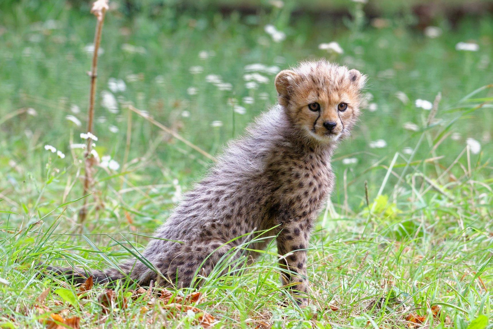 geparden nachwuchs zoo schönbrunn 2020-08-24