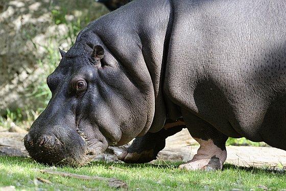 hippopotamus 2020-07-23