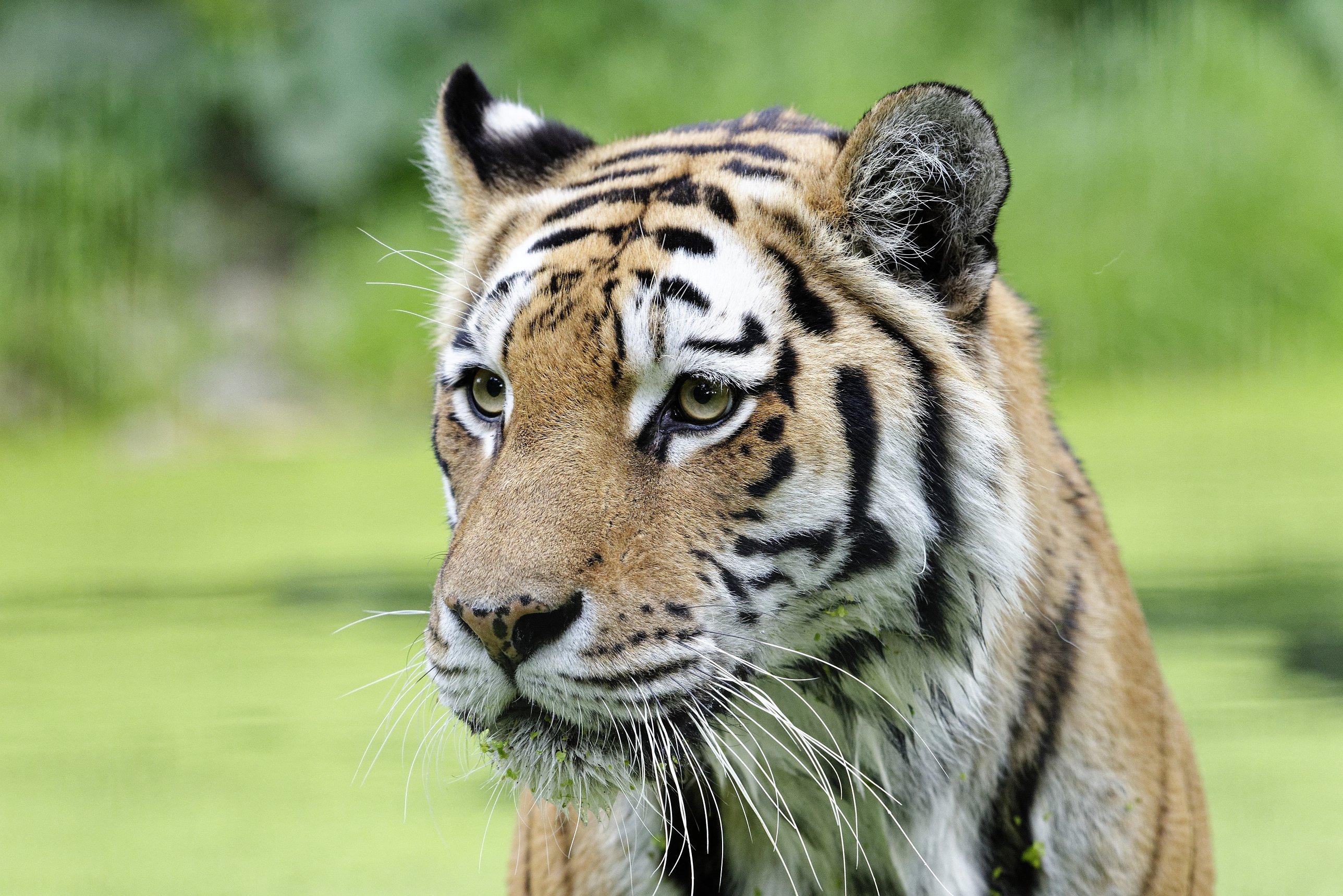 Ina der sibirische Tiger (Panthera tigris altaica) aus dem Zoo Schönbrunn