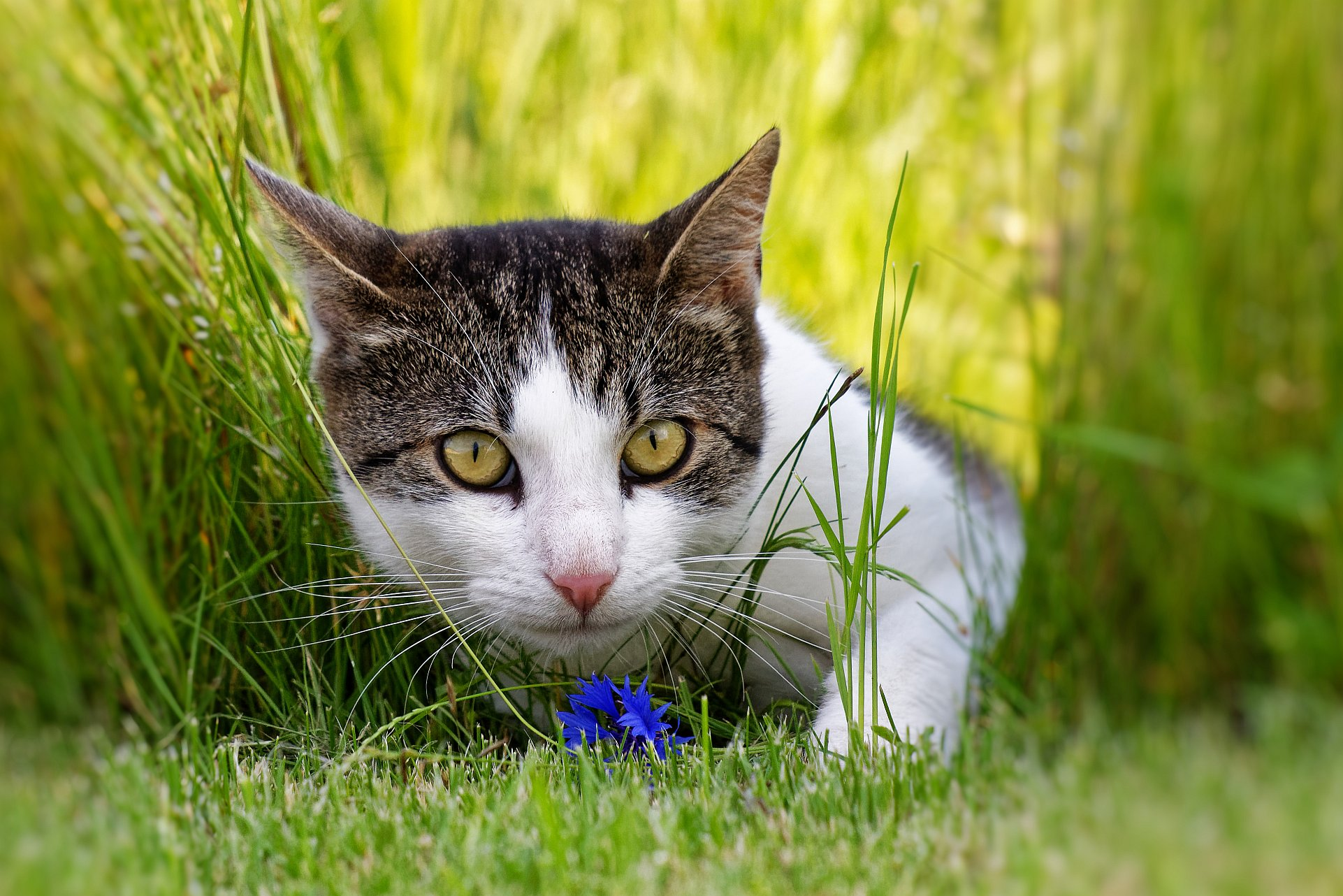Hauskatze (Felis catus)vor einer Kornblume