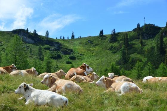 kühe auf der reiteralm