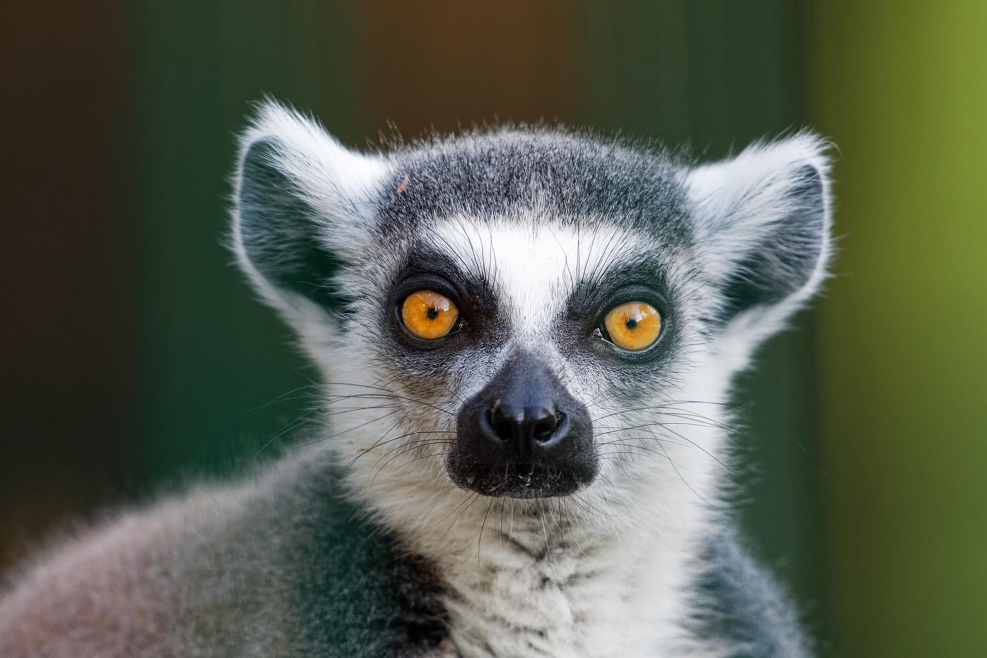 lemur catta 2021-04-06