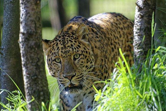 leopard weisser zoo kernhof 2020-05-17
