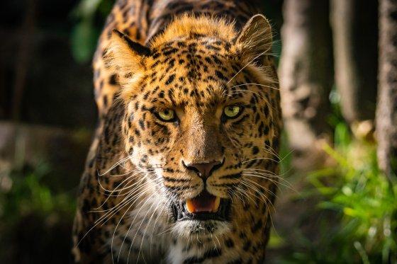 leopard weisser zoo kernhof portrait 2019-10-19