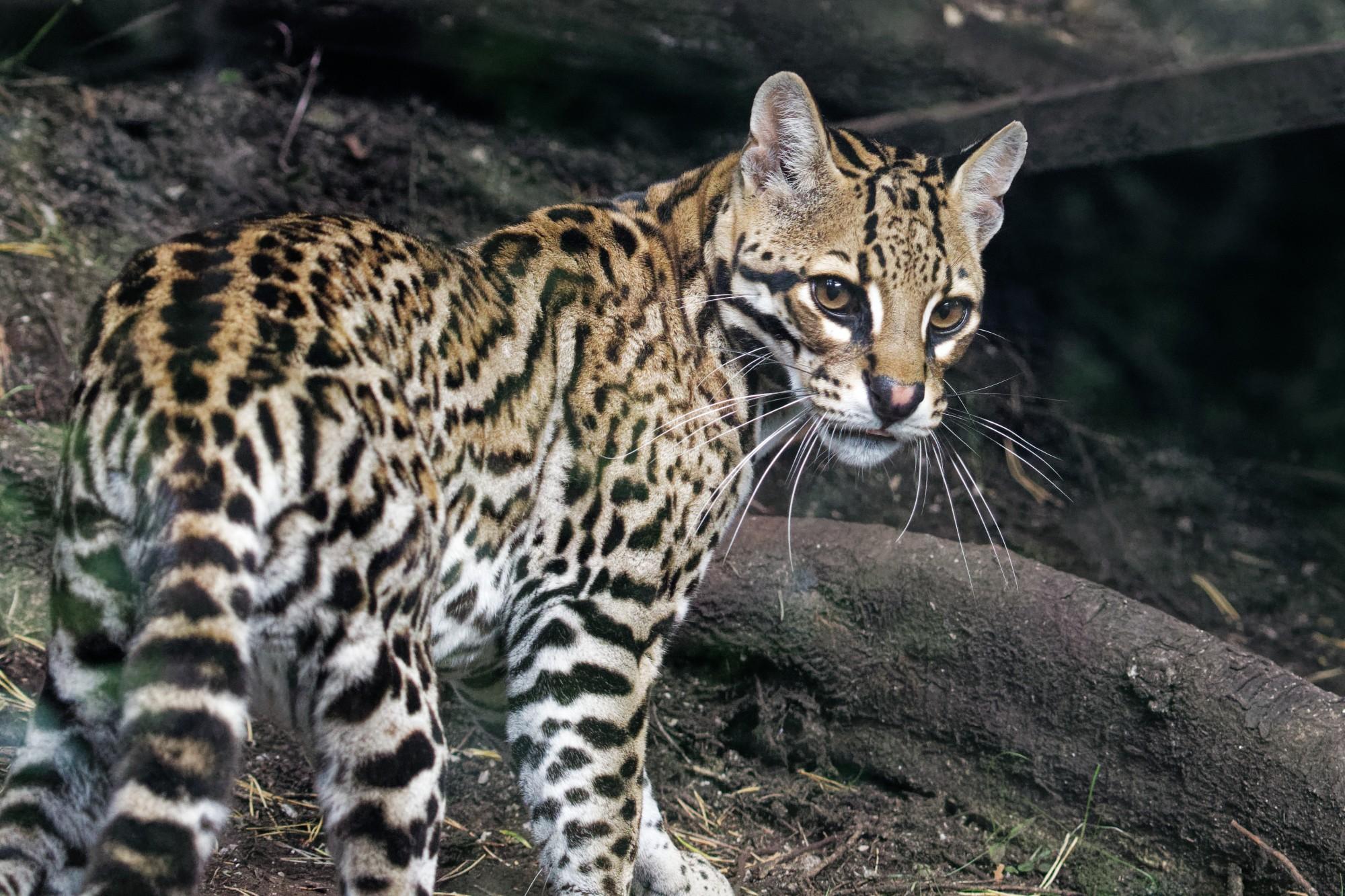 leopardus pardalis 2021-09-16
