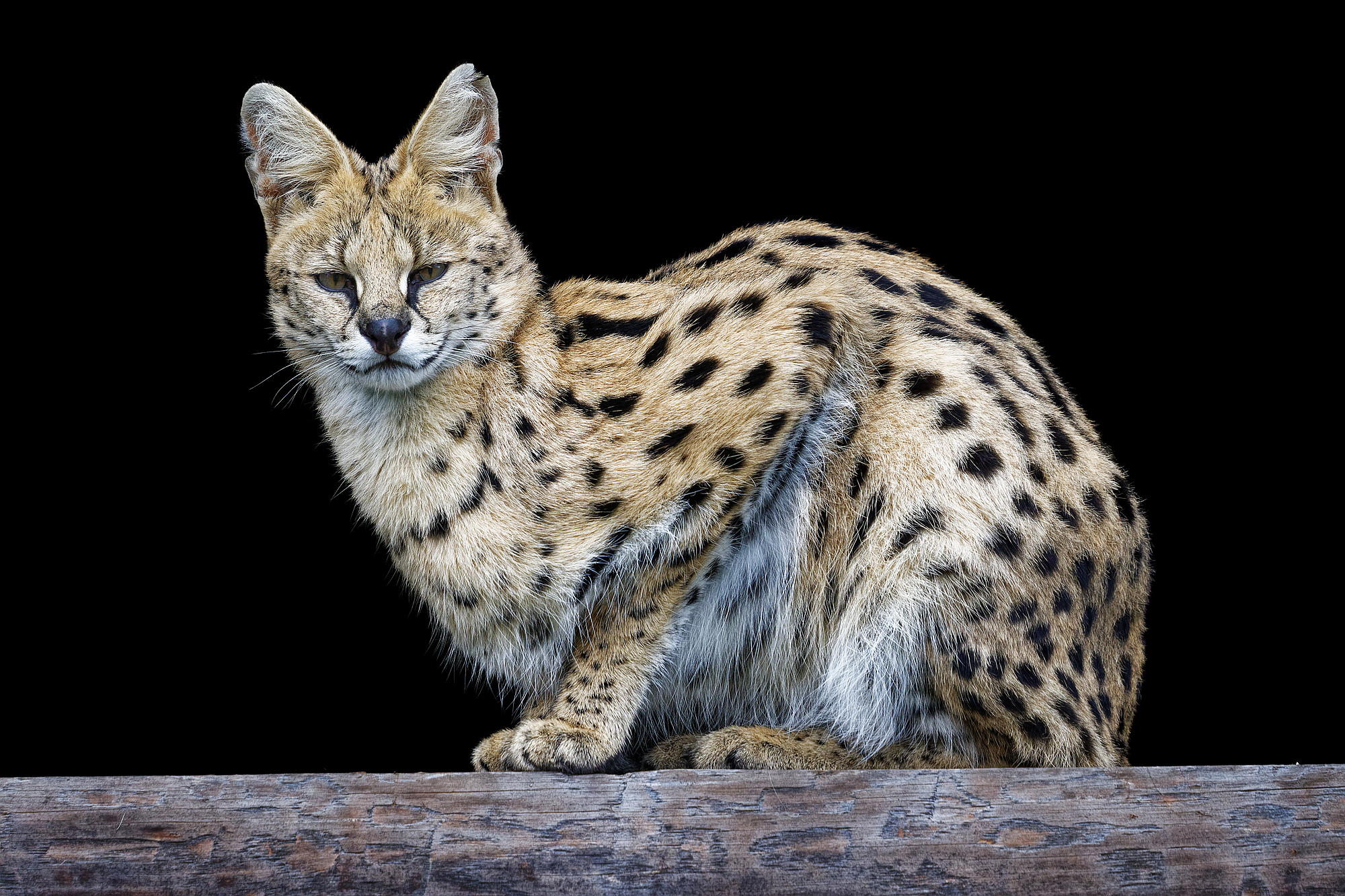 leptailurus serval weisser zoo kernhof 2020-10-17
