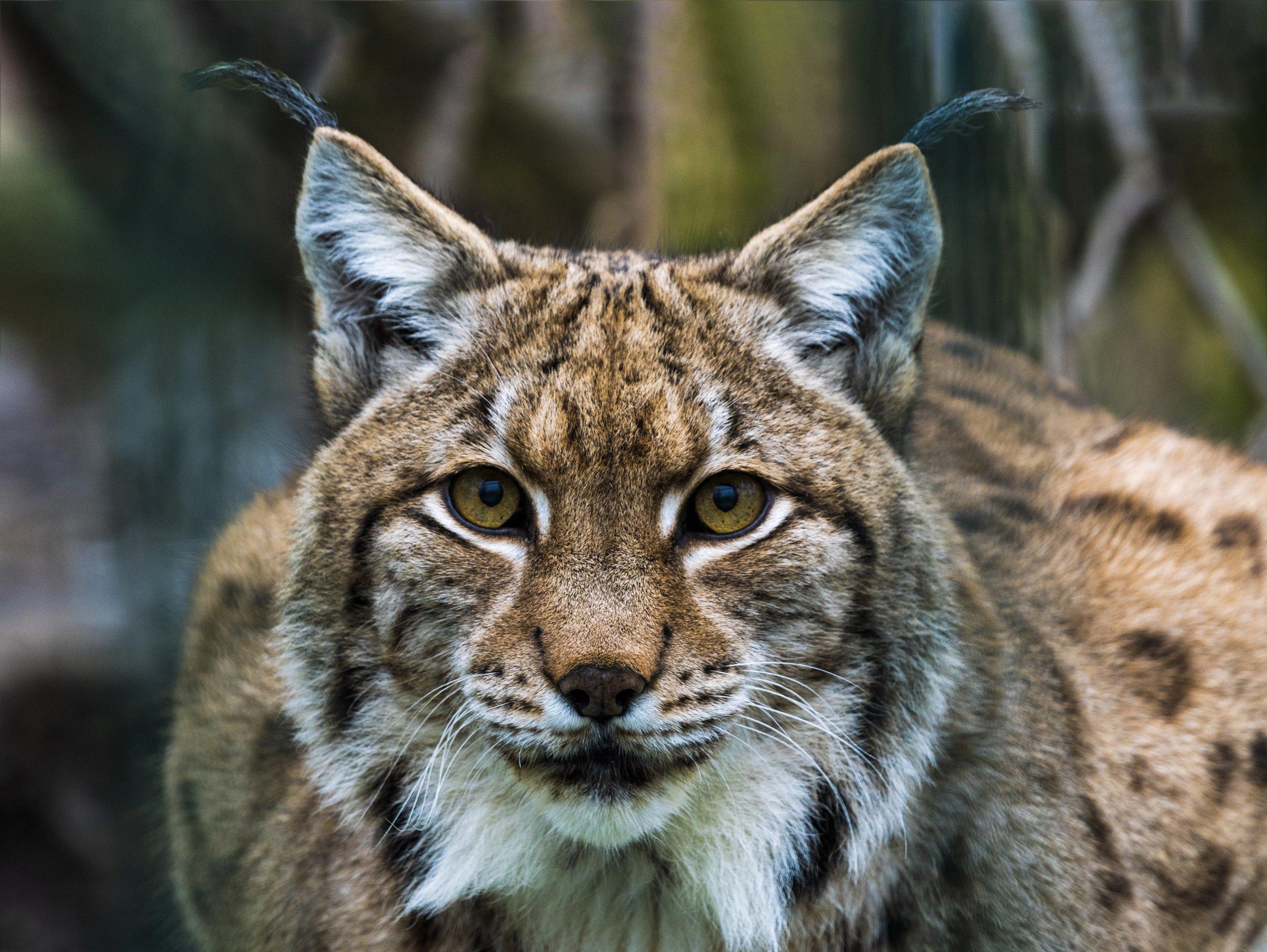 Ein eurasischer Luchs (Lynx lynx) aus dem Zoo in Bratislava