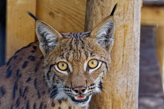 luchs is watching you 2020-08-04