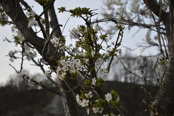 marillenblüte marbach