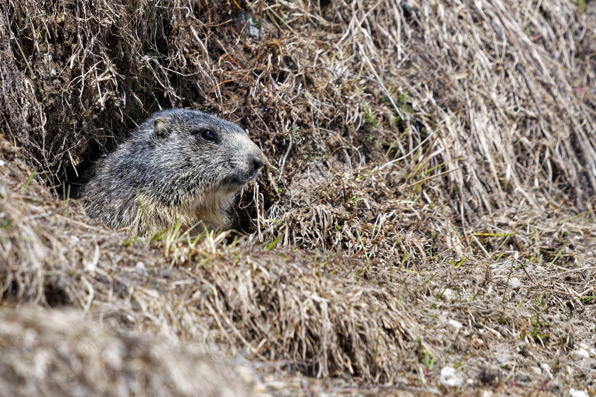 marmota marmota murmeltier tessin 2021-05-20