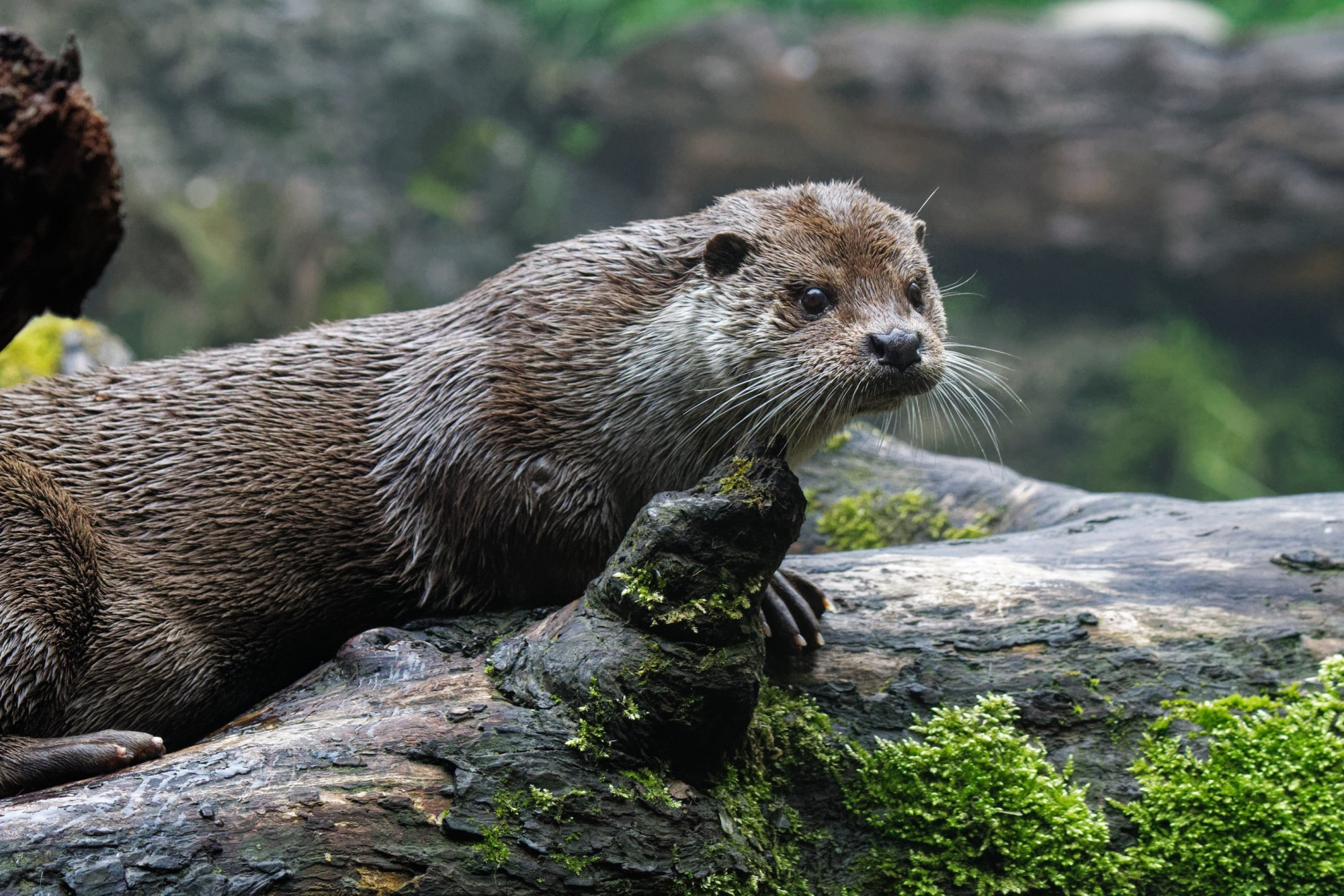 otter lutra lutra 2021-05-09