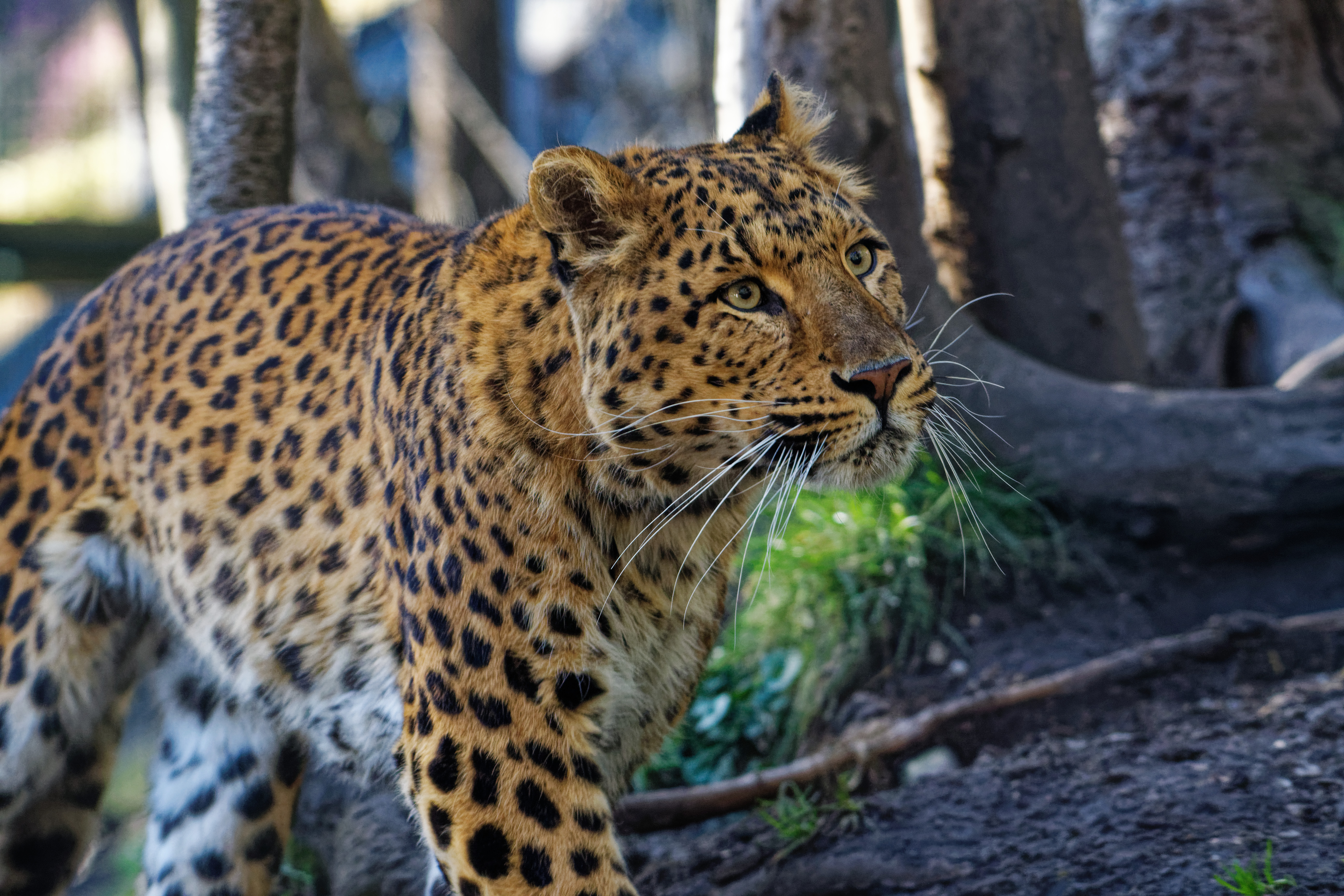 panthera pardus japonensis leopard 2021-03-31