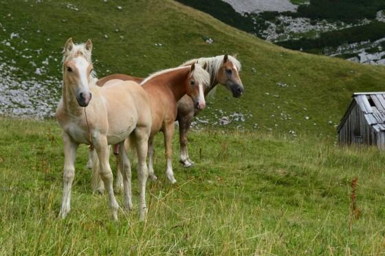 pferde auf augstalm1