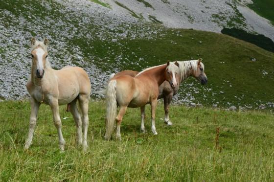 pferde auf augstalm2