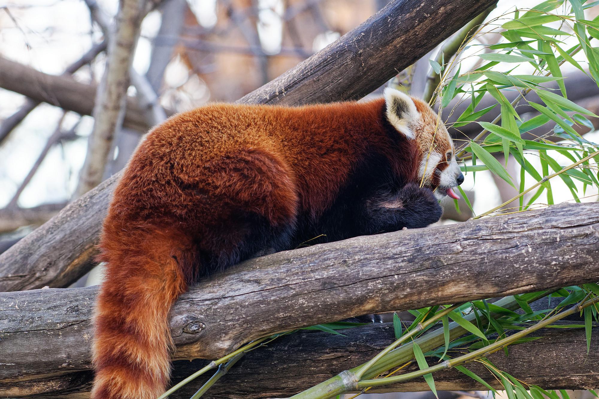 roter panda 2021-03-14