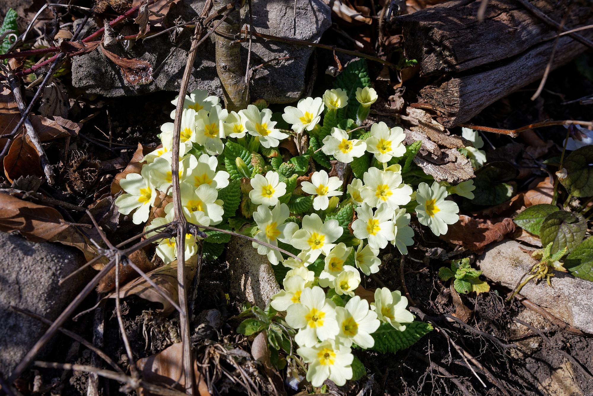 schlüsselblumen 2021-03-20