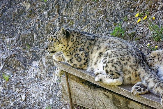 schneeleopard auf der laür 2020-05-17