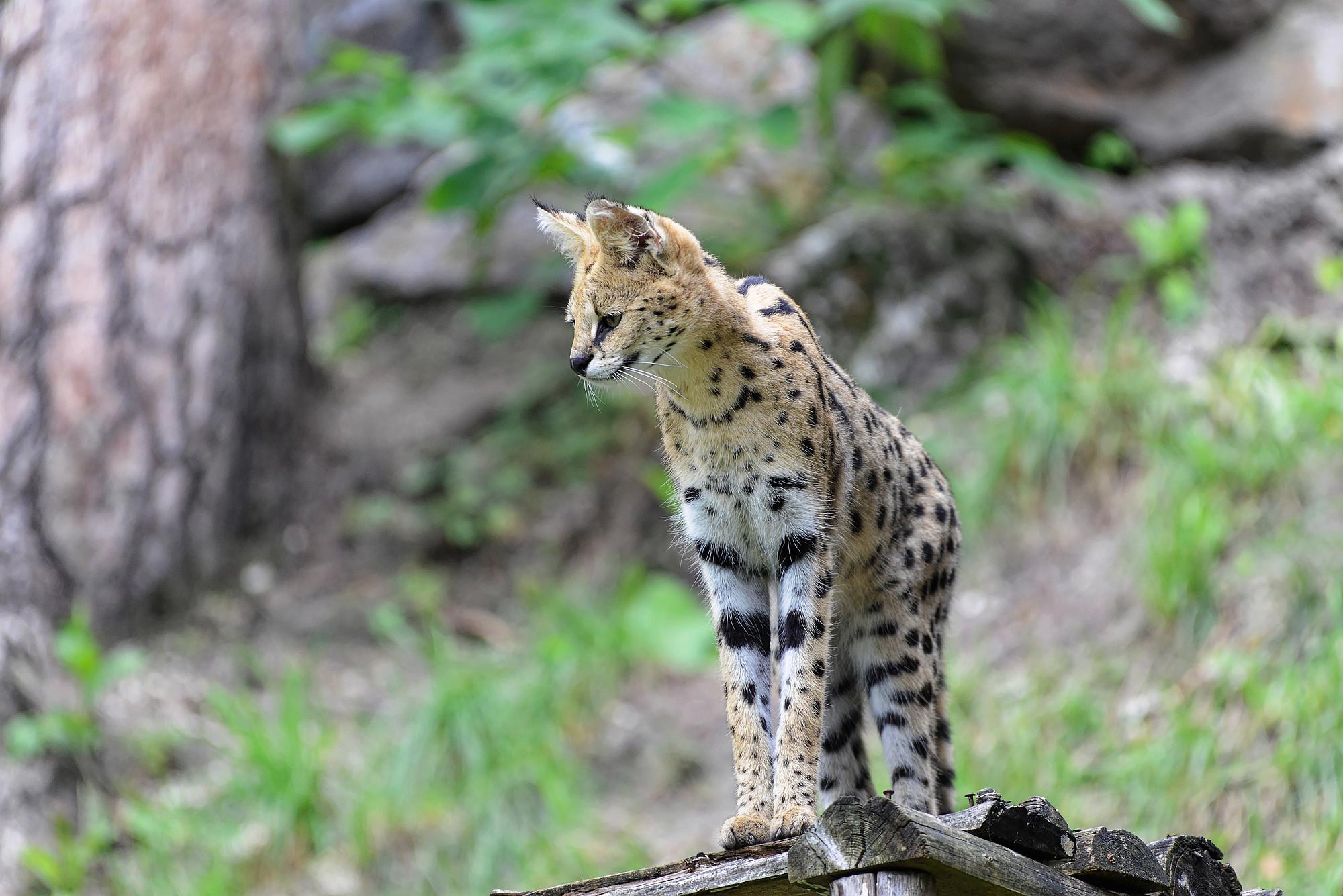 serval serval 2021-01-28